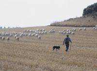 羊飼いの仕事の様子 26034000893| 写真素材・ストックフォト・画像・イラスト素材|アマナイメージズ