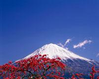 紅梅と富士山