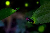 青葉で光る3匹のゲンジボタル