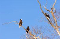 知床野鳥とオジロワシ