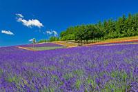 彩香の里のラベンダー畑