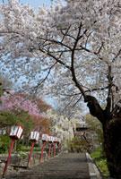 置賜桜回廊 烏帽子山桜