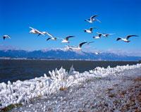 琵琶湖とユリカモメと雪の比良山