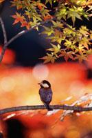 ヤマガラ 26081000285| 写真素材・ストックフォト・画像・イラスト素材|アマナイメージズ
