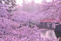 弘前城の桜 26082000313| 写真素材・ストックフォト・画像・イラスト素材|アマナイメージズ
