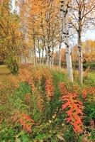 白樺とヤナギランの紅葉 26082000320| 写真素材・ストックフォト・画像・イラスト素材|アマナイメージズ