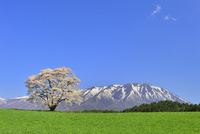岩手山と桜 26082000482| 写真素材・ストックフォト・画像・イラスト素材|アマナイメージズ