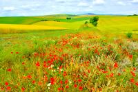 ポピーとチェコの田園風景