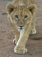 ライオンの子供 26082000547| 写真素材・ストックフォト・画像・イラスト素材|アマナイメージズ