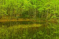 水に映るブナ林