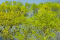 白川湖の水没木