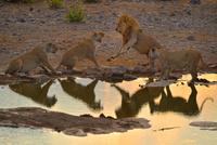 水に映るライオンの威嚇 26082000576| 写真素材・ストックフォト・画像・イラスト素材|アマナイメージズ