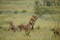 小さな木を登るライオン