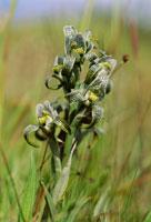 クロラエア・マゲルラニカの花