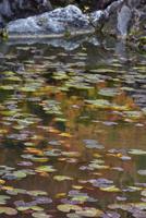 當麻寺奥院スイレンの葉 26089005469| 写真素材・ストックフォト・画像・イラスト素材|アマナイメージズ
