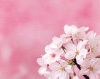 桜の花のアップ 26092000125  写真素材・ストックフォト・画像・イラスト素材 アマナイメージズ