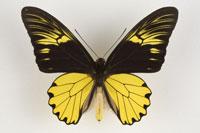 アンフリサスキシタアゲハ110mm 26092010606| 写真素材・ストックフォト・画像・イラスト素材|アマナイメージズ