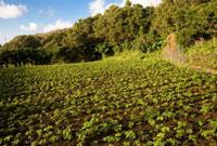 アシタバ畑 26097001904  写真素材・ストックフォト・画像・イラスト素材 アマナイメージズ