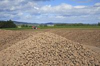 ジャガイモの収穫 26105002464| 写真素材・ストックフォト・画像・イラスト素材|アマナイメージズ
