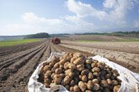 ジャガイモの収穫