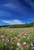 太陽の丘遠軽公園の虹の広場のコスモス 26105004924| 写真素材・ストックフォト・画像・イラスト素材|アマナイメージズ