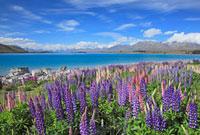 ルピナス咲くテカポ湖とサザンアルプス 26105005182  写真素材・ストックフォト・画像・イラスト素材 アマナイメージズ