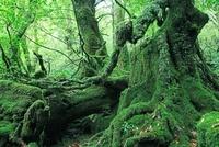 屋久島の白谷雲水峡のもののけ姫の森