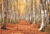 木漏れ日の紅葉のブナ林と小道