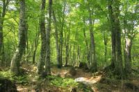 白神山地の岳岱自然観察教育林の新緑のブナ