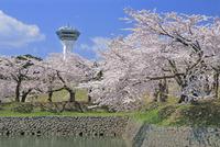 五稜郭タワーと五稜郭公園の桜
