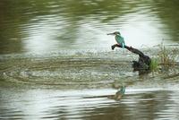 捕えた魚をくわえたカワセミ 26108001505| 写真素材・ストックフォト・画像・イラスト素材|アマナイメージズ