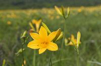 雄国沼に咲くニッコーキスゲの花