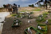 うみねこが巣造りする焼失後の蕪島神社跡