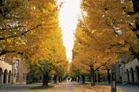 東京大学のイチョウ並木の黄葉 26115007165| 写真素材・ストックフォト・画像・イラスト素材|アマナイメージズ