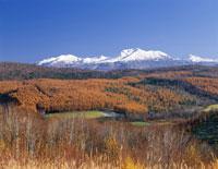 大雪山と秋のカラマツ