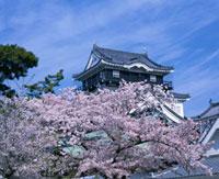 岡崎城と桜
