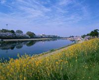 乙川と桜と菜の花 26120006003| 写真素材・ストックフォト・画像・イラスト素材|アマナイメージズ