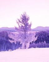 朝の十勝岳連峰(右)と樹氷の木