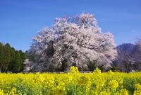 一心行の大桜と菜の花 26120026621| 写真素材・ストックフォト・画像・イラスト素材|アマナイメージズ