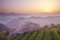 遠山桜の日の出と茶畑 26120026932| 写真素材・ストックフォト・画像・イラスト素材|アマナイメージズ