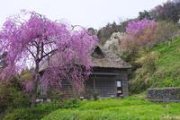 しだれ桜の咲く里