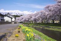 中山河川公園の桜と鳥海山