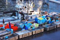 羅臼漁港の朝とサケの荷揚げ 26120028999| 写真素材・ストックフォト・画像・イラスト素材|アマナイメージズ
