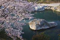 美濃田の淵の桜と吉野川