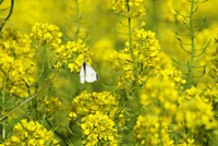 菜の花(キカラシ)とチョウ
