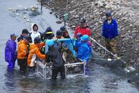 広尾川のサケの捕獲