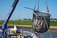 斜里港のサケの荷揚げ 26120041360| 写真素材・ストックフォト・画像・イラスト素材|アマナイメージズ