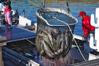 斜里港のサケの荷揚げ 26120041370| 写真素材・ストックフォト・画像・イラスト素材|アマナイメージズ