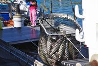 斜里港のサケの荷揚げ
