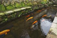 瀬戸川とコイ